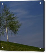 Silver Birch Tree Acrylic Print