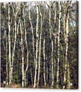 Silver Birch Trees Acrylic Print
