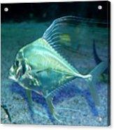 Silver Fish Acrylic Print