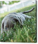 Silver Labrador Retriever  Acrylic Print