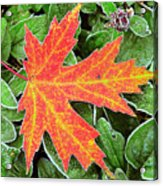Silver Maple Frost Acrylic Print