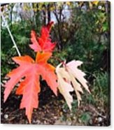 Silver Maple In Red Acrylic Print