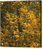 Silver Oak Acrylic Print
