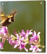 Silver Spotted Skipper Landing On Blooms                 August               Indiana Acrylic Print