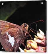 Silver-spotted Skipper Acrylic Print