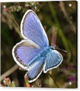 Silver-studded Blue Butterfly Acrylic Print