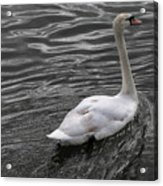 Silver Swan Acrylic Print