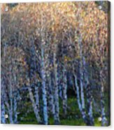 Silver Trees Acrylic Print