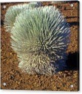 Silversword Wildflower Acrylic Print