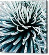 Silverswords  Acrylic Print
