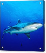 Silvertip Shark In Thailand Acrylic Print