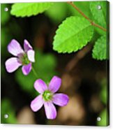 Simple Beauty II Acrylic Print
