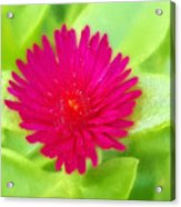 Simple Magenta In A Garden Of Green Acrylic Print