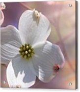Simplicity A Dogwood Blossom Acrylic Print