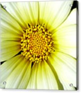 Simply Daisy Acrylic Print by JoAnn SkyWatcher