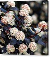 Summer Wine Ninebark Blossom Acrylic Print