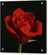 Simply Red Rose Acrylic Print