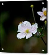 Simply Stated Acrylic Print