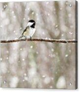 Sing Chickadee Sing Acrylic Print