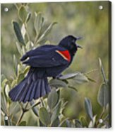 Sing Me A Song, Red-winged Blackbird Acrylic Print