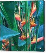 Singapore Heliconia Acrylic Print