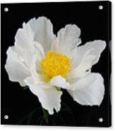 Singel White Peony Magnificence Acrylic Print