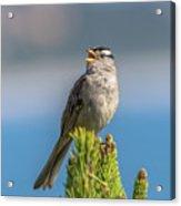 Singing Sparrow Acrylic Print