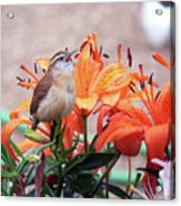 Singing Wren In The Lilies Acrylic Print