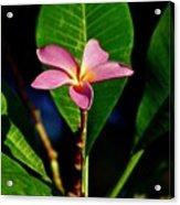 Single Blossom Acrylic Print