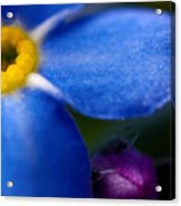 Single Blue Wood-forget-me-not Acrylic Print