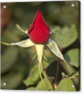 Single Bright Red Rose Bud Acrylic Print