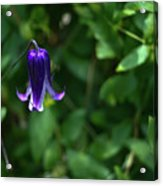 Single Clematis Bell Blossom Acrylic Print