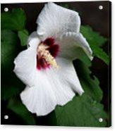Single Rose Sharon Flower Acrylic Print