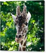 Single Giraffe Acrylic Print