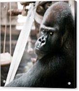 Single Gorilla Sitting Alone Acrylic Print