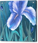 Single Iris With Buds Acrylic Print