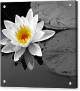 Single Lily Acrylic Print