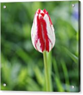 Single Lovely Tulip Acrylic Print