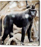 Single Macaque Monkey Standing Acrylic Print