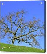 Single Oak Tree Acrylic Print
