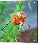 Single Orange And Black Tiger Lily Acrylic Print