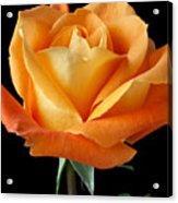Single Orange Rose Acrylic Print