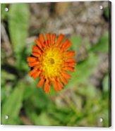 Single Orange Wild Flower Acrylic Print