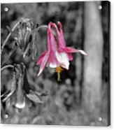Single Pink Columbine Acrylic Print