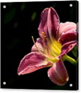 Single Pink Day Lily Acrylic Print