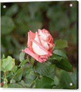 Single Pink Rose Acrylic Print