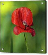 Single Poppy On Green Background Acrylic Print