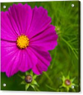 Single Purple Cosmos Flower Acrylic Print