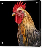 Single Rooster Acrylic Print