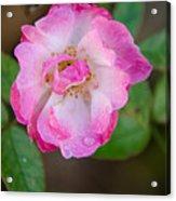 Single Rose 2 Acrylic Print
